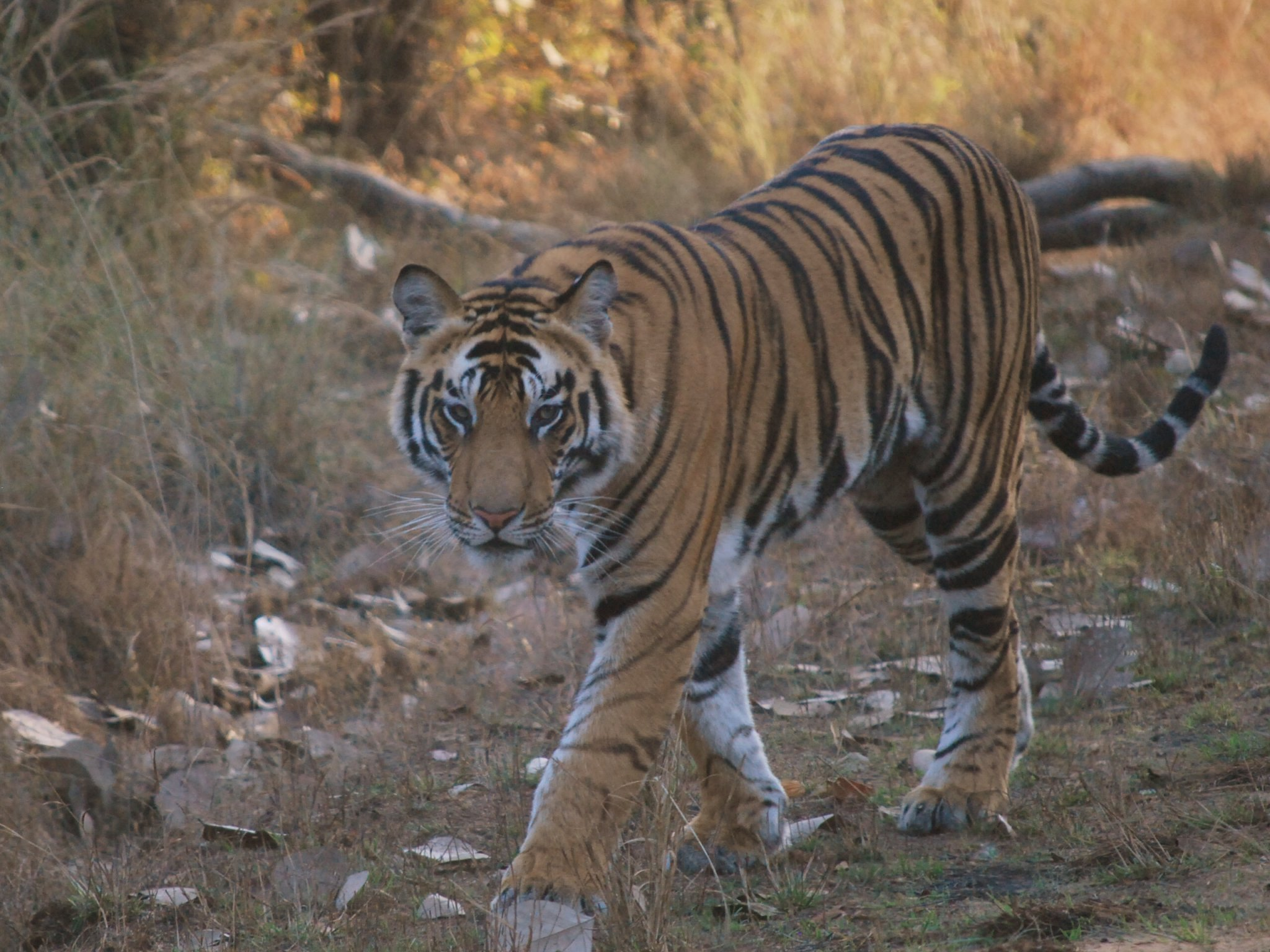 Tiger Bandhavgarh India